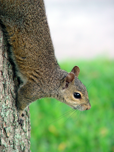 Photo of Florida Squirrel On Tree