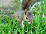 Photo of Florida Squirrel Walking In Grass