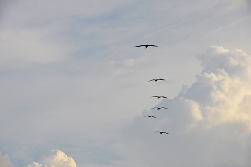 Free Picture: Photo of a small group of pelicans cruising through the clouds in Florida.