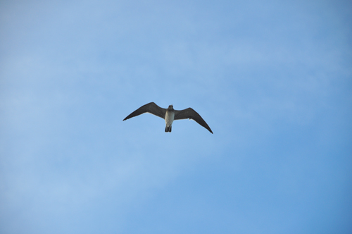 Free Picture: Photo of a seagull in Daytona Beach, FL flying overhead in the sky.