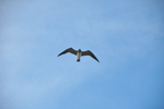 Free Photo of Florida Seagull In Flight Overhead