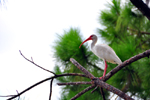 Photo of White Ibis Bird Celebration Florida