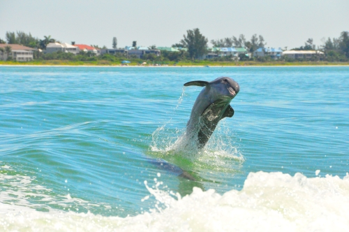 Free Picture: Photo of a leaping bottlenose dolphin on its tail near Sanibel Island, Florida.