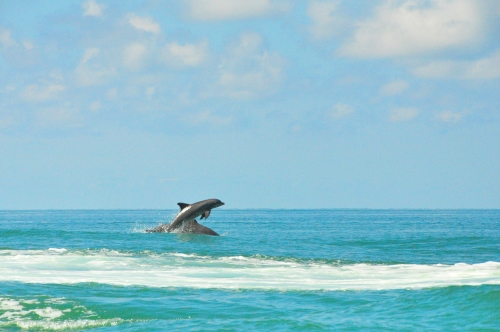 Free Picture: Photo of a pair of common wild dolphins playing out in the beautiful bluish green waters of the Gulf of Mexico near Florida.