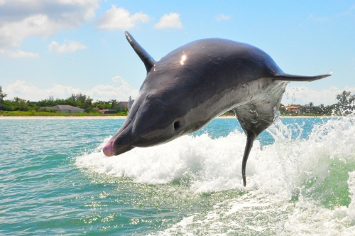 Free Picture: Photo of a playful dolphin jumping out of the water off the coast of Sanibel Island in Florida.