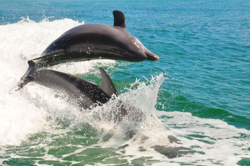 Free Picture: Photo of two bottlenose dolphins having fun as they jump out of the water almost on top of each other.