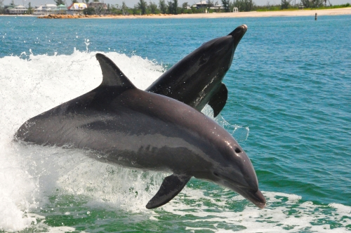 Free Picture: Photo of two wild bottlenose dolphins jumping out of the water together off the coast of Sanibel Island, FL.