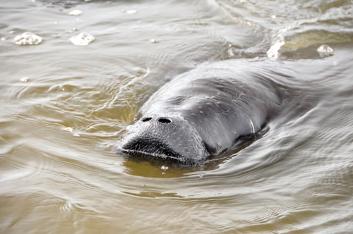 Free Picture: Photo of a Florida manatee coming up for air on the Halifax River in Ormond Beach, FL.