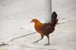 Free Photo of Key West Chicken On Sidewalk Florida