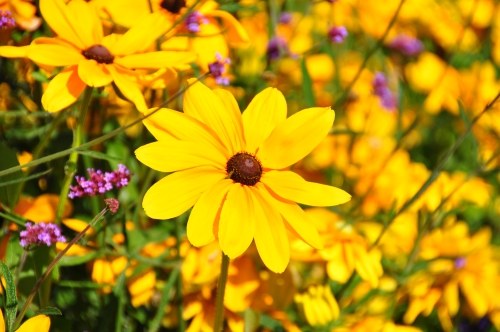 Photo of Black Eyed Susan Daisy Yellow Flowers Quebec