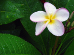 Free Photo of Yellow White & Purple Hawaiian Plumeria Flower Plant Florida