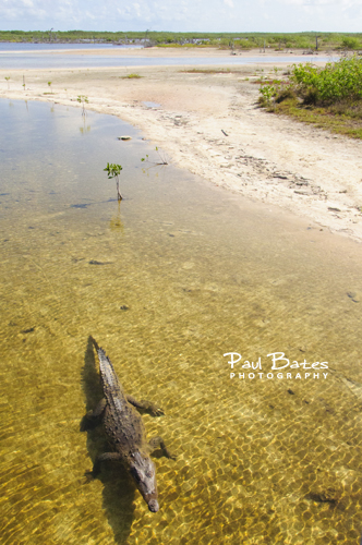 Free Picture: Photo of a motionless saltwater crocodile floating in the lagoon at Punta Sur in Cozumel, Mexico.
