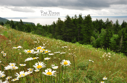 Free Picture: Photo of beautiful flowers growing on the hillside with a view of the Bay of Fundy from the top of this overlook in Fundy National Park, Canada in New Brunswick.