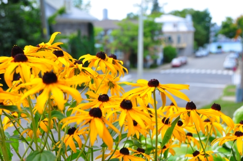 Free Picture: Photo of Black eyed Susan flowers or yellow daisy flowers on a street in Levis Quebec.