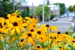 Photo of Black Eyed Susan Yellow Daisy Flowers Levis Quebec