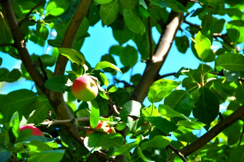 Free Picture: Photo of apples hanging on an apple tree in Ile D'Orleans in Quebec Canada.