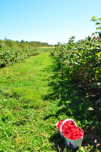 Free Picture: Photo of a basket of delicious red raspberries sitting in an orchard of raspberry bushes in Levis in Quebec, Canada.