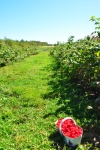 Photo of Picking A Basket of Red Raspberries Levis Quebec Canada