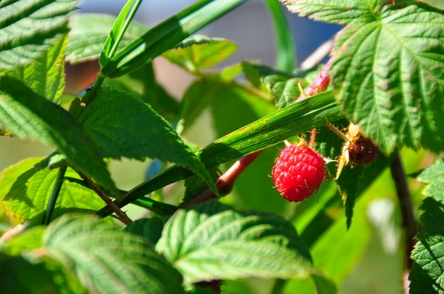 Free Picture: Photo of a bright red raspberry hanging just through some leaves on a raspberry bush.
