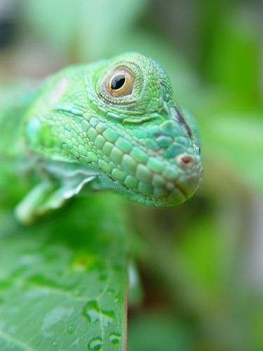 Free Picture: Photo of a green iguana lizard resting on a leaf just after a rain.
