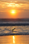 Free Photo of Orange Beach Sunrise Bird Fishing Florida